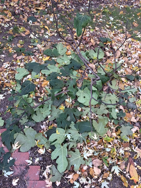 Photograph of fig tree that dropped almost all its leaves in one day.