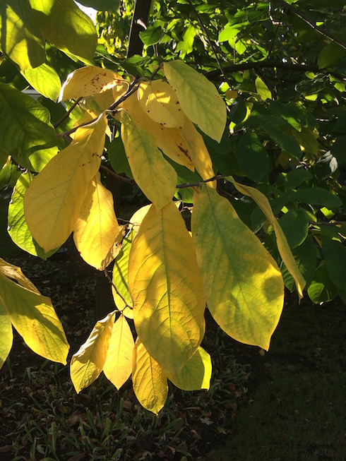 Photograph of backlit pawpaw leaves showing fall color