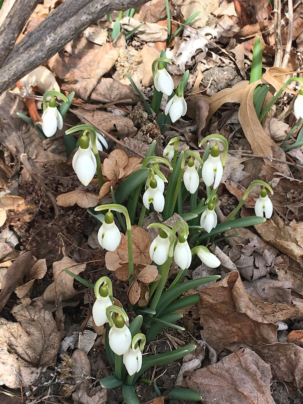 Photograph of a clump of snowdrops that have bursted through leaf cover and bloomed.