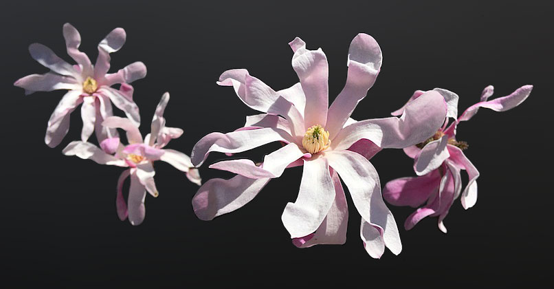 A photoshopped image of 4 flowers; the flowers were unretouched, but the background was blurred to uniformity