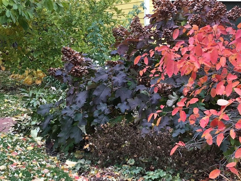 Photograph of purply-brown oakleaf hydrangea with dried flowers on it, and rather orangy serviceberry branches overlapping in front.