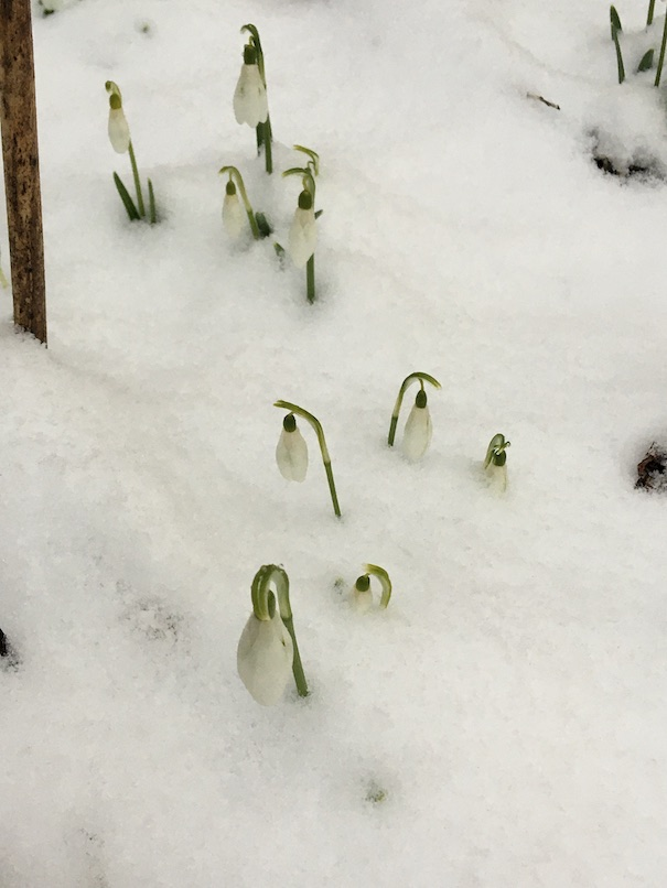 Snowdrops in snow. Photographed on March 23, 2020.